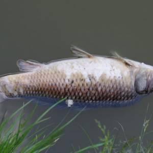 Veel meldingen over dode vissen in Delft